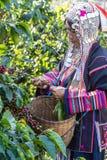 El vestido tribal indígena cosechaba el grano de café maduro Fotografía de archivo