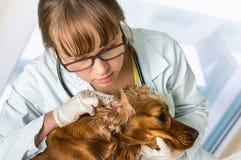 El veterinario comprueba los oídos a un perro foto de archivo