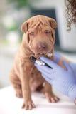 El veterinario con un estetoscopio examina el perro de Shar Pei Foto de archivo