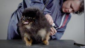 El veterinario de la mujer está cortando garras en las patas posteriores del pequeño perro de Pomerania lindo, colocadas en una t metrajes