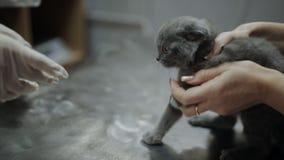 El veterinario de la mujer examina el área de la tiña en un gatito almacen de metraje de vídeo