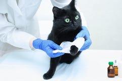 El veterinario en una capa blanca y guantes estéril venda la pata de un gato negro fotos de archivo