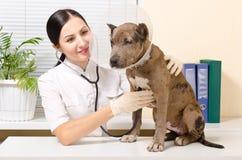 El veterinario escucha perrito del pitbull del estetoscopio Fotografía de archivo libre de regalías