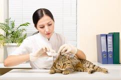 El veterinario está goteando el gato del oído Foto de archivo