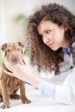 El veterinario examina el perro de Shar Pei Foto de archivo libre de regalías