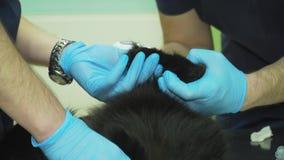 El veterinario examina el gato almacen de video