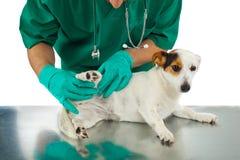 El veterinario examina la cadera del perro imagen de archivo