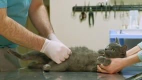 El veterinario examina un gato