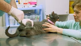 El veterinario examina un gato almacen de metraje de vídeo