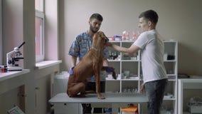 El veterinario examina el vientre de un perro almacen de video