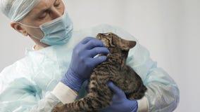 El veterinario frota ligeramente el gatito, él lo examina antes de la operación almacen de video