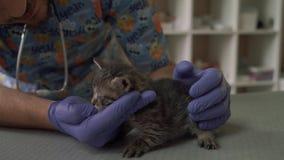 El veterinario profesional examina el hocico de un pequeño gatito almacen de metraje de vídeo