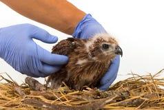 El veterinario que sostiene Mar-Eagle joven se prepara al examen Imagen de archivo
