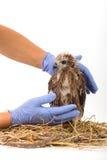 El veterinario que sostiene Mar-Eagle joven se prepara al examen Fotografía de archivo libre de regalías