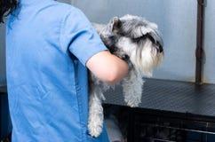 El veterinario transporta un schnauzer los brazos antes de la consulta veterinaria imagen de archivo