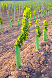 El viñedo brota las vides de uva del bebé en fila Foto de archivo libre de regalías
