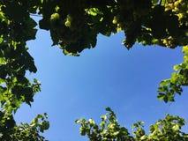 El viñedo de la uva mira para arriba la visión fotografía de archivo libre de regalías