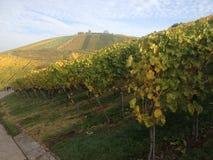 El viñedo en el augusto durante la puesta del sol Foto de archivo