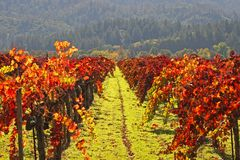 El viñedo W/Autumn colorea Napa imágenes de archivo libres de regalías
