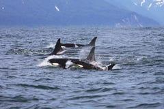 El viajar de la familia de la orca Fotografía de archivo