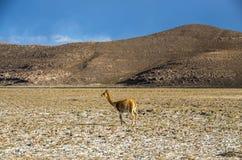 El vicugna del Vicugna de la vicuña o el vicugna es camelid suramericano salvaje, que viven en las altas áreas alpinas de los And Imagen de archivo