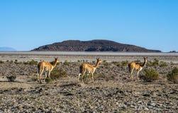 El vicugna del Vicugna de la vicuña o el vicugna es camelid suramericano salvaje, que viven en las altas áreas alpinas de los And Imagenes de archivo