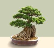 El viejo crecimiento de los bonsais arraiga la piedra de las cubiertas fotos de archivo libres de regalías