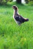 El viejo decir en voz alta del pollo del bebé de dos semanas imagenes de archivo