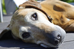 El viejo dormitar hermoso del perro Foto de archivo