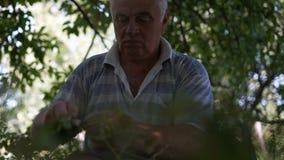 El viejo hombre concentra la cosecha del espárrago almacen de video