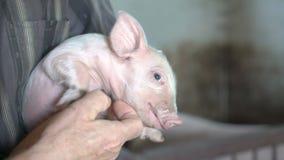 El viejo hombre sostiene un cerdo debajo de la barbilla en 4K almacen de metraje de vídeo