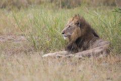 El viejo varón herido del león que miente en la hierba y lame sus heridas Imagenes de archivo