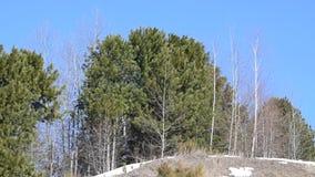 El viento balancea las ramas de un pino del árbol conífero, almacen de metraje de vídeo