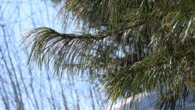 El viento balancea las ramas de un pino del árbol conífero, metrajes
