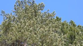 El viento balancea las ramas de un pino del árbol conífero, almacen de video