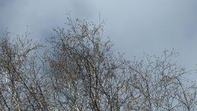 El viento de la primavera sacude ramas del abedul almacen de metraje de vídeo