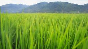 El viento del primer sacude troncos verdes del arroz en campo contra las colinas metrajes