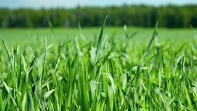 El viento del primer sacude troncos verdes enormes jovenes del trigo metrajes