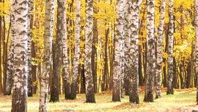 El viento en el bosque del abedul del otoño, amarillo descendente se va almacen de metraje de vídeo