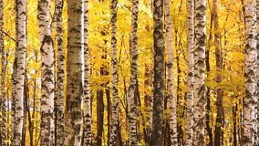 El viento en el bosque del abedul del otoño, amarillo descendente se va metrajes