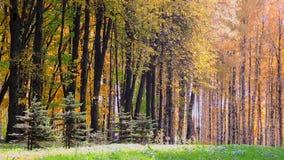 El viento en el bosque del otoño, amarillo descendente se va almacen de video