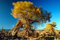 El viento en las hojas del álamo Fotos de archivo libres de regalías
