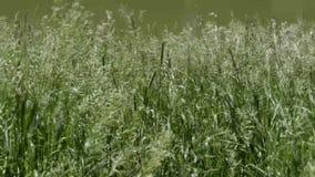 El viento revuelve la hierba Naturaleza en el verano almacen de video