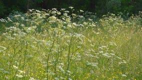 El viento revuelve la hierba y las flores de prado en el campo almacen de video