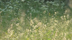 El viento revuelve la hierba y las flores de prado en el campo almacen de metraje de vídeo