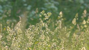 El viento revuelve la hierba y las flores de prado en el campo metrajes