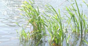 El viento sacude las hojas verdes del bastón en el lago metrajes