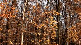 El viento sacude suavemente las hojas amarilleadas de abedules metrajes
