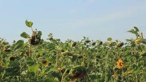 El viento sopla en el campo con los girasoles almacen de metraje de vídeo