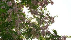 El viento y el sol a través del acacia blanco floreciente de las flores brilla en el sol metrajes